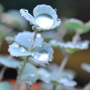 雨降る庭の花  ナデシコの花に水玉     39