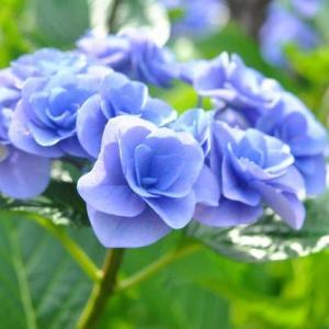 散歩道 谷端川緑地は色々のあじさいが咲いています  48