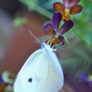 庭の花  ビオラにモンシロチョウ     40