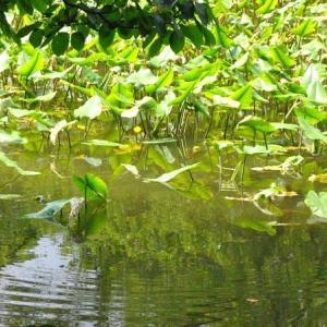 石神井公園  三宝寺池コウホネの黄色い花  8