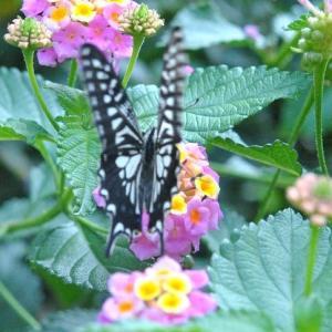 散歩道 谷端川緑地の花にアゲハチョウがきています  49