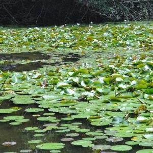石神井公園  スイレン池にアオサギがいました  10
