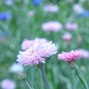 散歩道 谷端川緑地に早咲きのコスモスがもう咲いています  50