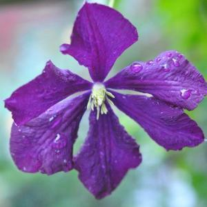 庭の花  カシワバアジサイに水滴の玉がきれい    43