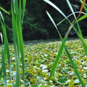 石神井公園  スイレン池に白色スイレン  11