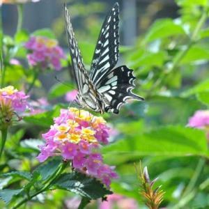 散歩道 谷端川緑地でアゲハチョウに会いました  52