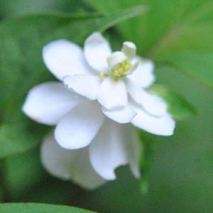 庭の花  コマクサの可愛いつぼみ   44