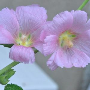 散歩で谷端川緑地のくちなしの花   55