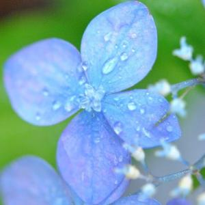 庭の花  八重のドクダミの花に水滴たまる  55