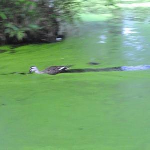 石神井記念公園 湖面一面の緑色の池   17