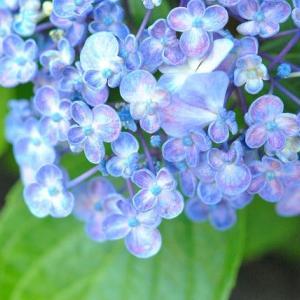 早朝の散歩で アガパンサスの花咲きだす  59
