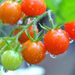 雨降る庭の花たち 赤いミニトマトに雨しずく   7