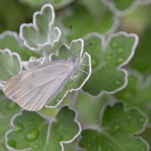 庭の花たち  モンシロチョウが水滴のある葉に飛来  11