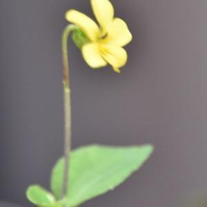 庭の花たち アサガオに水滴の水玉 26