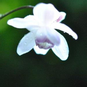 庭の花たち  雨ふるなかのミニトマトに水滴  32
