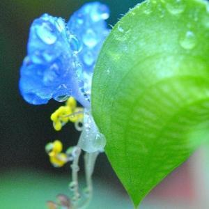 庭の花たち  雨ふるなかのツユクサに水滴  33