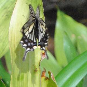 朝の散歩 西光院 アゲハチョウが飛来  7