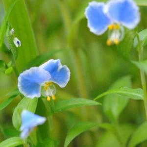 庭の花たち  薄色のメガネツユクサの花  38