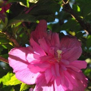 千早フラワー公園 ひまわりがたくさん咲いてきました   24