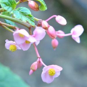 庭で咲く花 ツルボの蕾が出だす   33