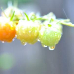 庭の花 雨降りのミニトマトに水滴   64