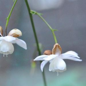 庭で咲く花 レンゲショウマが良く咲いています   34