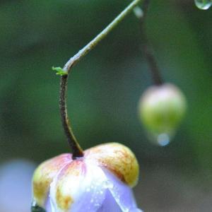 庭の花 今日咲いた新しいレンゲショウに水玉   67