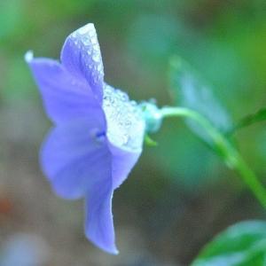 庭で咲く花 雨降りのレンゲショウマの花たち   37