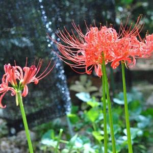 庭で咲く花  早朝のヒガンバナ  74