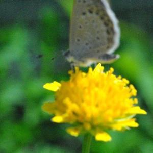散歩で 千早フラワー公園エンジェルストランペットの花   8
