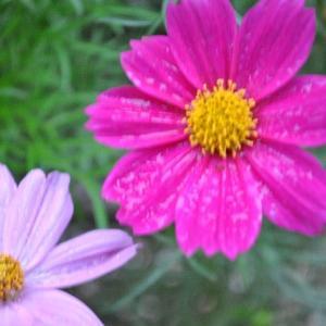 庭で咲く花たち ブルーエルフィンの花が咲きだす    6