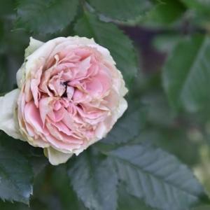 光が丘色彩のローズガーデンの花たちにホウジャク   8