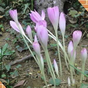 虫食いコルチカムの花その後