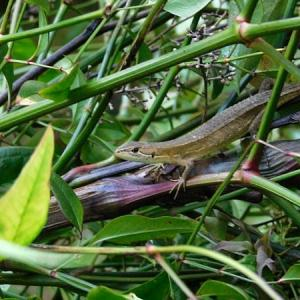 庭仕事中カナヘビと遭遇