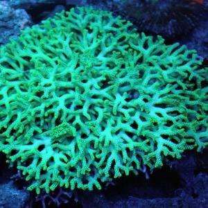 ビューティフル 深場トゲサンゴ