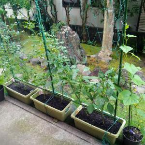 収穫開始(家庭菜園) \(^o^)/
