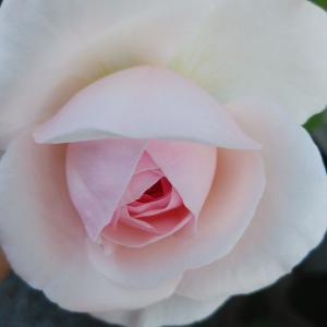 美しきかな オリビアロ-ズオ-ステイン