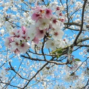 やっぱり桜は見たい