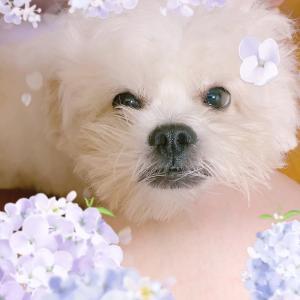 『 むぎがどんどん茶色い犬になってきた理由 』
