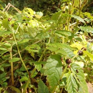 北海道で採れるミズの実(秋の山菜編)