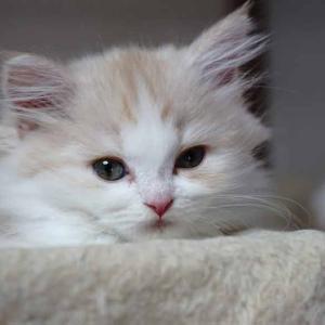 おすすめスコティッシュフォールド子猫里親募集中 立ち耳 ロング メス 大阪ペットショップ業許可