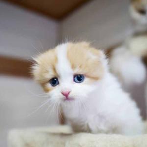 おすすめスコティッシュフォールド子猫 折れ耳 ロング メス