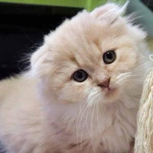 おすすめスコティッシュフォールド子猫里親募集中 折れ耳 ロング メス 大阪市ペットショップ業許可