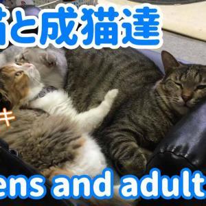 子猫(スコティッシュフォールド)と成猫達