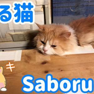 うちのスコティッシュフォールド猫のレイが猫をサボるんですっ!