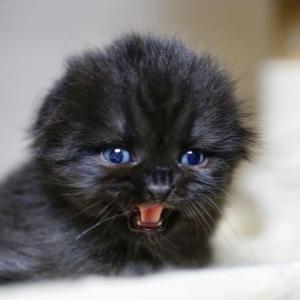 スコティッシュフォールド子猫里親募集中おすすめオス折れ耳 大阪京都兵庫奈良和歌山 ペットショップ