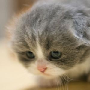 おすすめスコティッシュフォールド子猫里親募集中オス折れ耳大阪京都兵庫奈良和歌山ペットショップ