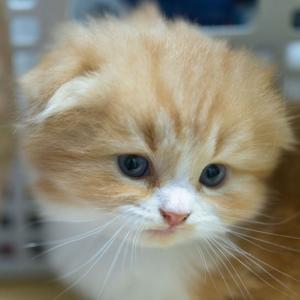 スコティッシュフォールドおすすめ子猫里親募集中オス折れ耳 大阪京都兵庫奈良和歌山 ペットショップ