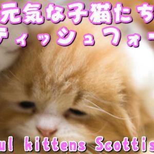 スコティッシュフォールド 子猫ブリーダーペットショップ業許可販売 大阪 京都 兵庫 奈良 和歌山