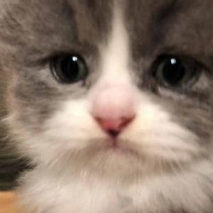かわいい子猫達スコティッシュフォールド